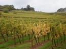 Sur les hauteurs de Barr avec vue sur les vignes…